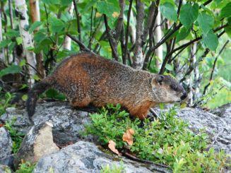 Québec marmot