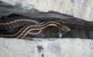 Wild garter snake